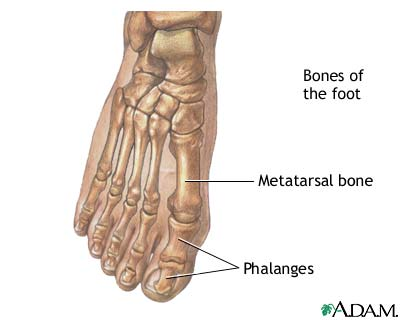 Foot bone anatomy