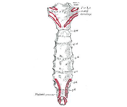 Sternum-Bone