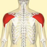 Deltoid-Muscle-anatomy