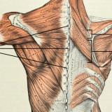 Rhomboid-Muscles