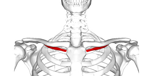 Subclavius_muscle