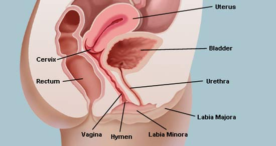 a The lips vagina of