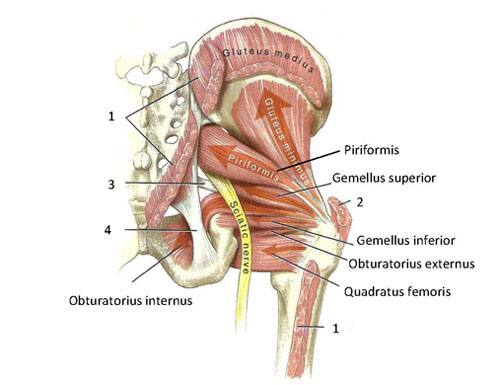 Hip muscle anatomy illustration