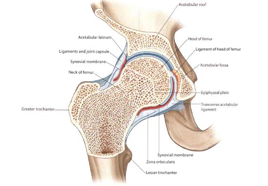 Cross Section Of The Hip Joint