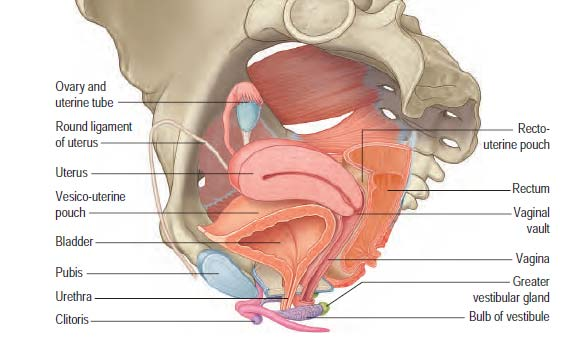 anteverted uterus and surrounding anatomical structures